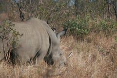 Rinoceronte bianco nel bushveld Immagini Stock