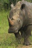 Rhino_02 Fotografia Stock