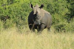Rhino_03 Fotografia Stock Libera da Diritti