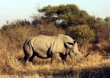 Rinoceronte bianco nordico che cammina attraverso il Bush Immagine Stock