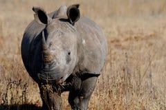 Rinoceronte bianco o rinoceronte quadrato-lipped Fotografia Stock