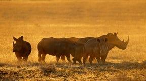Rinoceronte bianco in polvere al tramonto fotografia stock