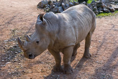 Rinoceronte Bianco. Rhino Ceratotherium simum, mammifero Africano Royalty Free Stock Photo