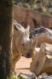 Rinoceronte Bianco. Rhino Ceratotherium simum, mammifero Africano Royalty Free Stock Images