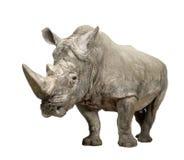 Rinoceronte bianco - simum del Ceratotherium (+/- 10 anni) Immagine Stock