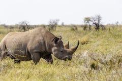Rinoceronte bianco, simum del Ceratotherium Fotografia Stock Libera da Diritti