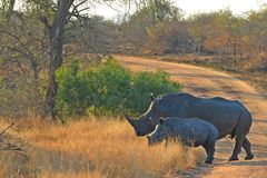 Rinoceronte bianco (simum del Ceratotherium) e vitello Immagini Stock