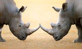Rinoceronte bianco testa a testa Fotografie Stock Libere da Diritti