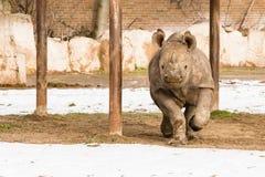 Rinoceronte - bicornis do Diceros Fotografia de Stock Royalty Free
