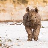 Rinoceronte - bicornis do Diceros Imagem de Stock