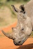 Rinoceronte blanco imagen de archivo libre de regalías