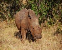 Rinoceronte blanco Foto de archivo