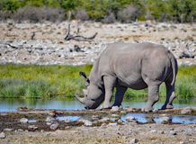 Rinoceronte blanco Fotografía de archivo