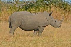 Rinoceronte blanco adulto Imagen de archivo libre de regalías