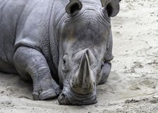 Rinoceronte blanco africano Imágenes de archivo libres de regalías