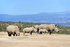 Rinoceronte blanco africano fotos de archivo