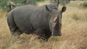 Rinoceronte blanco Bull Imagen de archivo libre de regalías
