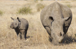 Rinoceronte blanco con el bebé, Suráfrica Imagenes de archivo