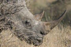 Rinoceronte blanco con el cuerno grande Foto de archivo libre de regalías