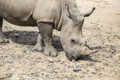 Rinoceronte blanco con lesiones foto de archivo libre de regalías