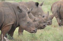 Rinoceronte blanco de tres toros que presenta para mí en armonía en el parque nacional de Kruger imagenes de archivo