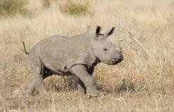 Rinoceronte blanco del bebé, Suráfrica Fotos de archivo
