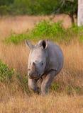 Rinoceronte blanco del becerro del bebé Imagenes de archivo
