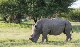 Rinoceronte blanco en el parque del kruger Imagen de archivo libre de regalías