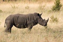 Rinoceronte blanco en parque del kruger Fotografía de archivo