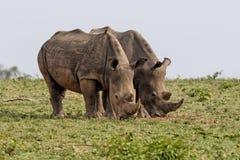 Rinoceronte blanco en Suráfrica foto de archivo libre de regalías