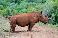 Rinoceronte blanco en Sur?frica imagen de archivo