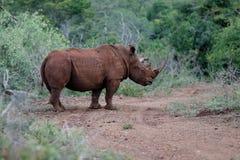 Rinoceronte blanco en Sur?frica foto de archivo