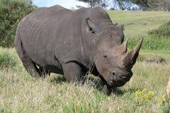 Rinoceronte blanco enojado Foto de archivo
