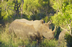 Rinoceronte blanco grande Imagen de archivo libre de regalías