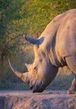 Rinoceronte blanco grande Foto de archivo libre de regalías
