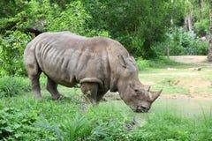 Rinoceronte blanco grande (Ce Imagenes de archivo