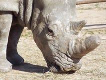 Rinoceronte blanco meridional Fotos de archivo