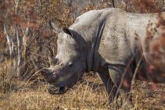 Rinoceronte blanco meridional en el parque nacional de Kruger, Suráfrica imágenes de archivo libres de regalías
