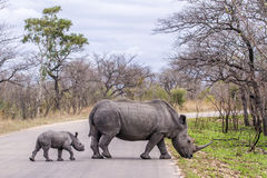 Rinoceronte blanco meridional en el parque nacional de Kruger, Suráfrica Fotografía de archivo