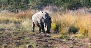 Rinoceronte blanco Pilanesberg, fauna del safari de Suráfrica almacen de metraje de vídeo