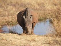 Rinoceronte blanco por el waterhole Fotos de archivo libres de regalías