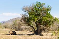 Rinoceronte blanco que duerme debajo de un árbol, Suráfrica Imagen de archivo