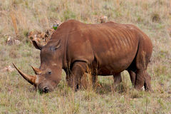 Rinoceronte blanco que pasta Imagen de archivo libre de regalías