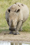 Rinoceronte blanco que recorre, Suráfrica Foto de archivo