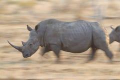 Rinoceronte blanco que se ejecuta, Suráfrica Foto de archivo