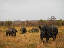 Rinoceronte blanco salvaje tres en el parque nacional de Kruger, Suráfrica Imagen de archivo