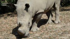 Rinoceronte blanco, simum del Ceratotherium, almacen de metraje de vídeo