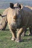 Rinoceronte branco África do Sul Fotografia de Stock