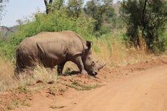 Rinoceronte branco Fotografia de Stock Royalty Free