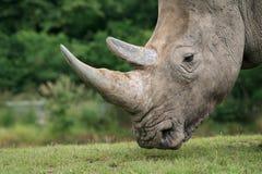 Rinoceronte branco Fotos de Stock